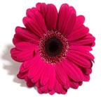 розовый цвет